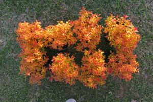 Spirea - Gold Flame