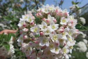 Viburnum - Burkwoodii